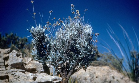 The desert shrub that could be an alternative source of tire rubber. Credit : Uniprot.org